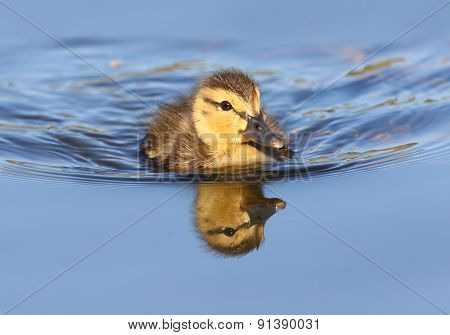 Mallard duckling swimming in blue water with Reflection