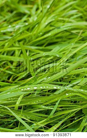 Green Spring Grass In Water Drops
