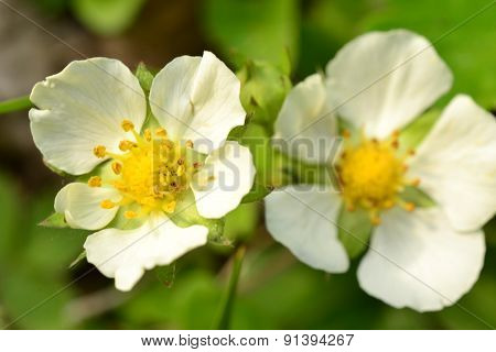 White Flower In The Early Spring Strawberries