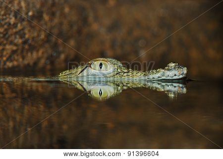 Eye Of Submerged Crocodile