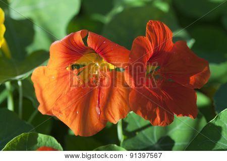 Nasturtium flowers orange .