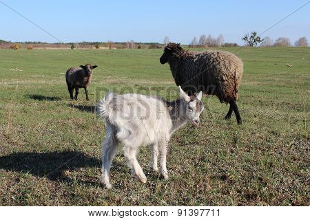 Sheep And Goat Grazing On The Grass