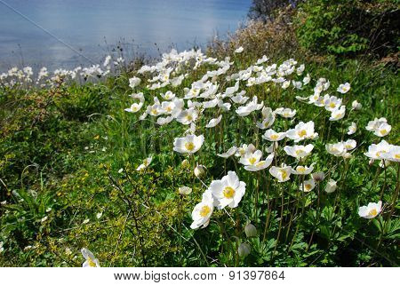Snowdrop Anemones By The Coast