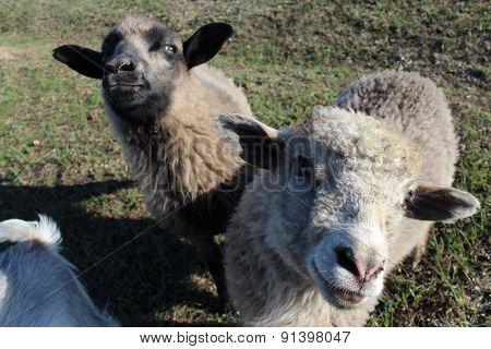 Sheep Asking Something