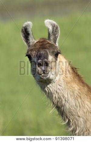 Llama Portrait.