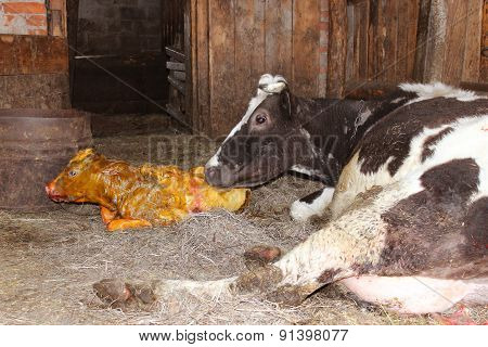 Mother Cow Looking After Its Just Newborn Calf