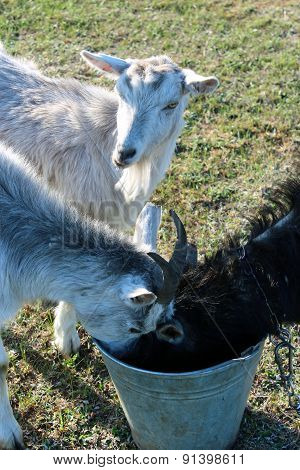 Three Goats Drinking Water