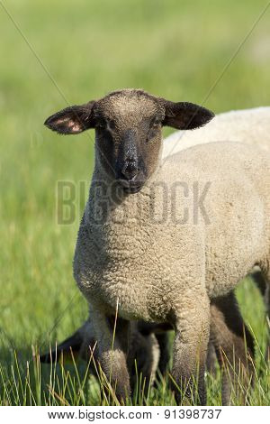 Portrait Of Sheep.