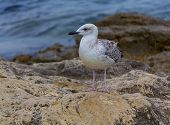 picture of crimea  - Seagull sitting on a rock by the sea - JPG