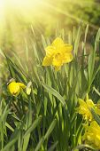 image of daffodils  - Beautiful yellow daffodils  in the garden at spring time - JPG