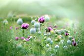 foto of poppy flower  - Meadow of purple poppy flowers and poppy pods - JPG