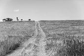 picture of wilder  - Dirt road route through wilderness wildlife landscape in black white vintage - JPG