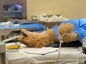 image of vets surgery  - A lioness on the operating table having surgery - JPG