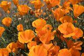 image of antelope  - Antelope Valley Poppy Reserve in California photo taken in spring time - JPG