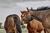 pic of animal teeth  - A wild herd of horses with one horse opening his mouth and exposing his teeth in the high desert - JPG