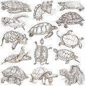 pic of terrapin turtle  - TURTLES  - JPG