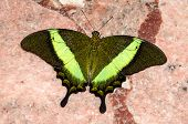 foto of butterfly  - Butterfly Papilio Swallowtail butterflies are large colorful butterflies in the family Papilionidae - JPG