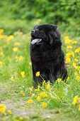 pic of chow-chow  - black chow chow breed dog outdoors in summer - JPG