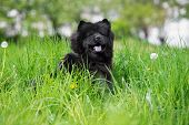 stock photo of chow-chow  - black chow chow breed dog outdoors in summer - JPG