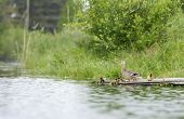 pic of clutch  - Duck with her clutch on a raft in the pond in summer - JPG