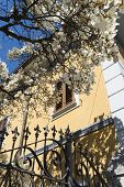 picture of magnolia  - Magnolia with white flowers at spring in Tradate  - JPG