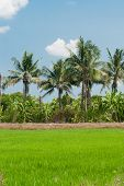 foto of plant species  - Rice fields mixtures of plant species with blue sky background - JPG