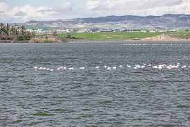 foto of larnaca  - Flamingos in Larnaca Salt Lake - Cyprus Island ** Note: Soft Focus at 100%, best at smaller sizes - JPG