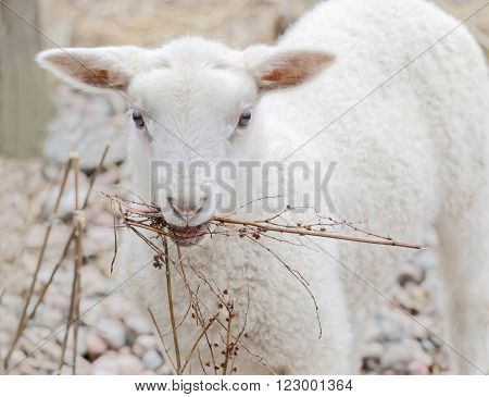 Beautiful newborn white lamb chewing on a plant