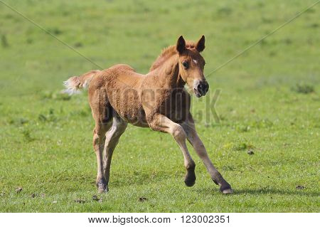 Cute brown foal jumping on the meadow.