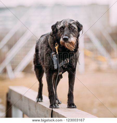 Black Mixed Breed Dog In Agility Training.