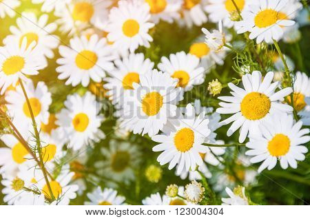 White Daisies In A Field.