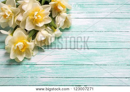 White daffodils flowers on turquoise painted wooden planks. Selective focus. Place for text.