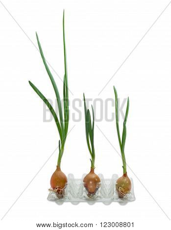 Three sprouting onion bulb with green sprouts on a light background closeup