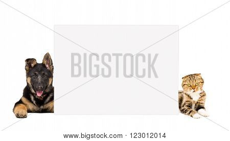 German Shepherd puppy and cat Scottish Fold lying, peeking from behind banner, isolated on white background