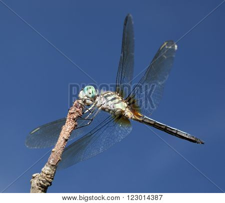 Dragonfly with blue eyes and light green body on a branch