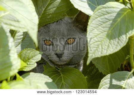 Young chartreux cat in the middle of leafs