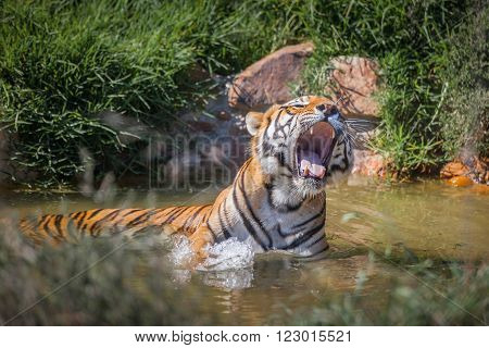 A tiger relaxing in the water, letting out a large yawn