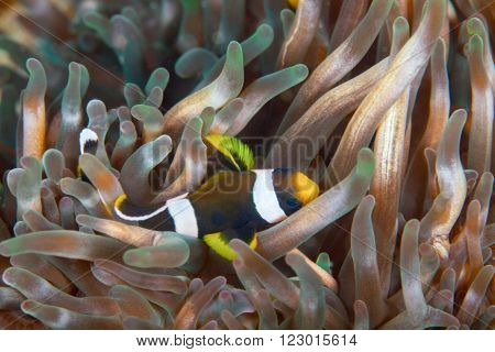 A clown fish brushing itself along a pale pink anemone