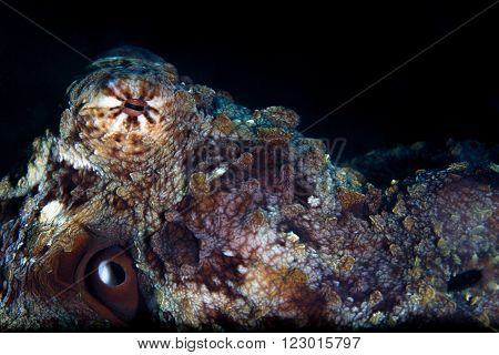 A super close up of a camouflaged octopus' eye