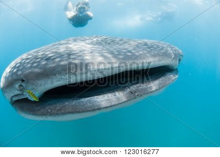 A free diver swims alongside a whale shark whilst an underwater photographers take photographs