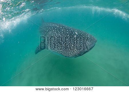 A friendly whale shark swimming towards the camera in the Indian ocean