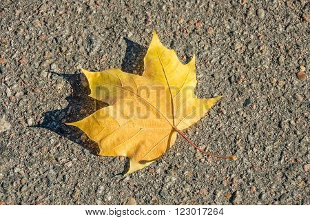 Maple leaf on asphalt road. Maple leaf on the ground. Glob on maple leaf.