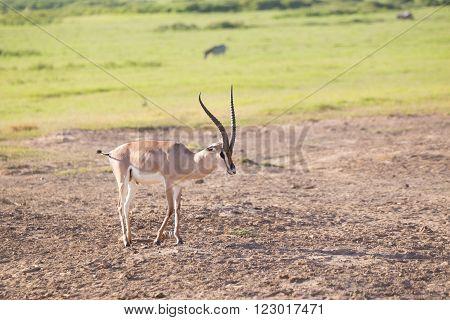 Grant's gazelle, Nanger granti, grazing in Amboseli national park, Kenya, Africa.