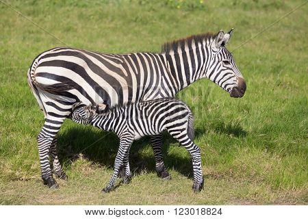 Mother nursing foal zebra, Equus quagga, grazing in Amboseli national park, Kenya, Africa.