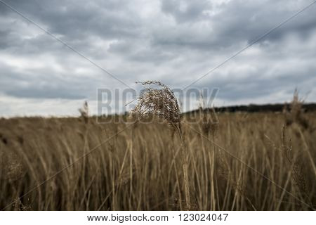 Reed bed on a cloudy Spring morning