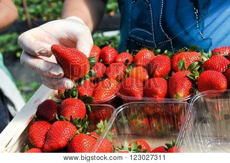 Manolada Ilia Greece - March 3 2016: Immigrant seasonal farm workers (men and women old and young) pick and package strawberries directly into boxes in the Manolada of southern Greece.