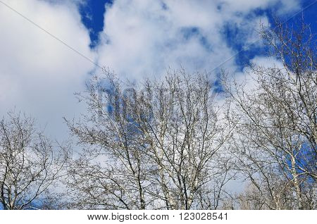 Early spring, blue sky with clouds and poplar branches.Poplar tree.