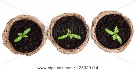 isolated small green seedings in round pots from turf