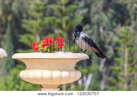 Raven sitting on a flowerpot with geraniums in the city park
