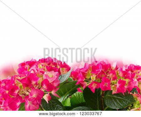 Fresh pink hortensia flowers over  white background